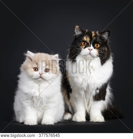 Fluffy Creme With White British Longhair Cat Kitten And Adult Tortie Mother Cat, Sitting Up Facing F