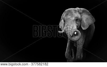 Black And White Portrait African Elephant. Design Monochrome Elephant. Proposal For Website.