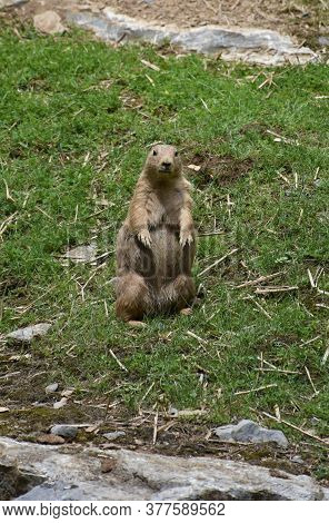 Prairie Dog Standing Up On His Hind Legs.