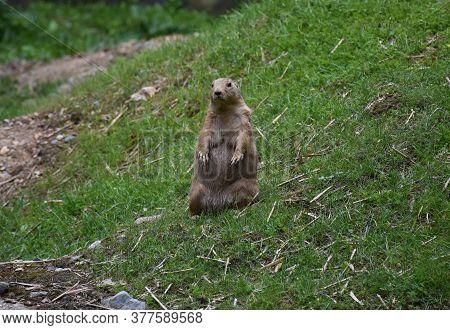 Cute Prairie Dog Standing Alone On A Hillside.