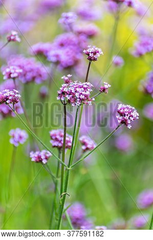 Botanical Collection Of Medicinal And Edible Plants, Purple Flowers Of Verbena Officialis Plant In B