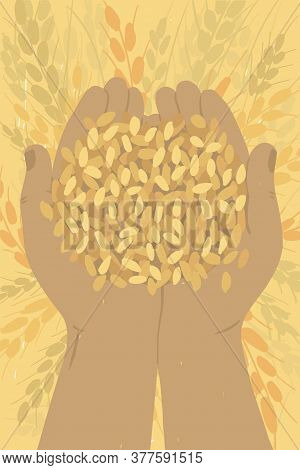 Farmer Holding Ripe Grains Of Wheat In Hands. Cereal In Human Palms. Adult Man Gathering Crop. Agric