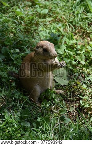 Adorable Black Tailed Prairie Dog Eating Bits Of Grass.