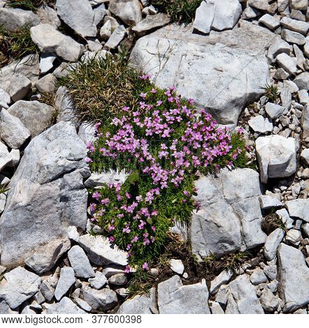 Mountain Flowers At The Foot Of The Italian Dolomites On White Rocks, Alpine Flora