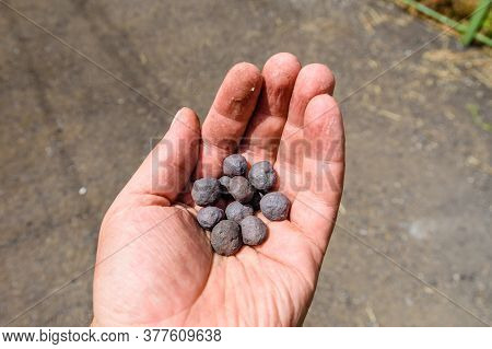 Iron Ore Taconite Pellets In Worker Hand