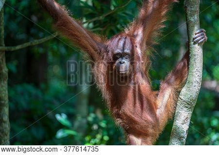 Wild Orangutan In Rainforest Of Borneo, Malaysia. Orangutan Monkey In Nature