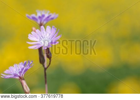 Purple Cichorium Flowers, Chicory Wild Flowers. Purple Flower On Natural Background. Flower Of Wild