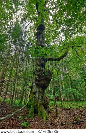 Heart Shaped Beech Tree Outgrowth In The Hans-watzlik-hain Primeval Forest In Southern Germany