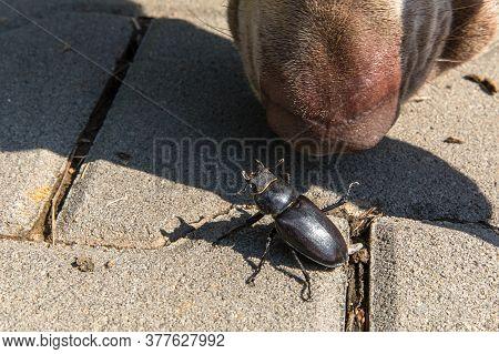 Close-up Photo Of Big Female Stag-beetle ( Lucanus Cervus ) On Concrete Pavement. The Dog Sniffs For