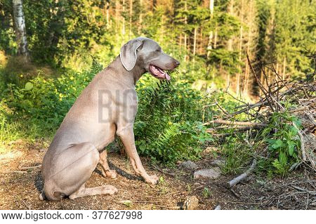 Weimaraner Dog Sitting In The Forest In Summer. Hunting Hound In The Woods. Hunting Season.