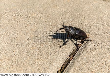 Close-up Photo Of Big Female Stag-beetle ( Lucanus Cervus ) On Concrete Pavement. European Stag Beet