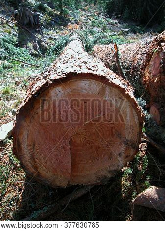 Growth Rings Or Annual Rings On A Tree, Tree Ring Dating