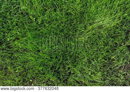 Green Grass On The Lawn. Natural Green Grass Background, Fresh Lawn