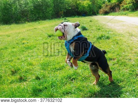 Black And White English Bulldog In Blue Harnes Juming And Catching A Ball On The Grass