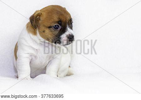Puppy Bitch Jack Russell Sitting On White Bedspreads, Scandinavian Design