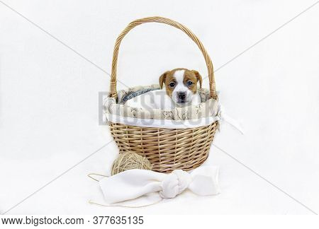cute Puppy Bitches Jack Russell Terrier Sitting In An Easter Basket Sticking Out His Muzzle On A Wh