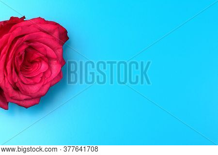 A Red Rose Isolated On Blue Background. Red Flowers Isolated. Flat Lay. Copy Space. Postcard. Place