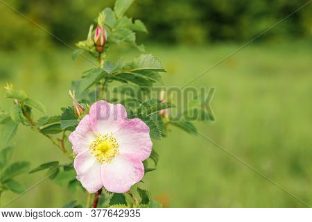 Pink Rosehip Flower Close-up. Wild Rose Blooms In The Spring.