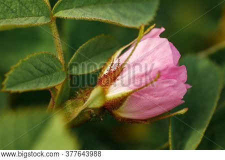 Rosebud Bud Close-up. Wild Rose Blooms In The Spring.