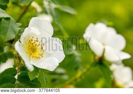Wild Rose Bush Blooms In The Spring. White Rosehip Flowers Close-up. Rosehip Is Brewed In Tea.