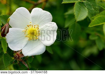 Wild Rose Bush Blooms In The Spring. White Rosehip Flower Close-up. Rosehip Is Used In Folk Medicine