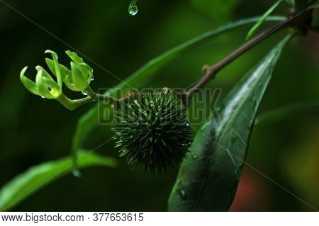 Green thorny fruits of the plant Allamanda cathartica in a garden.
