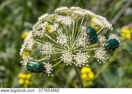 Three Green Beetles On A Hogweed Plant. Cetonia Aurata Sits On A White Racena Umbrella Inflorescence