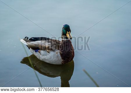 A Brown Mallard Swimming At Colorado Springs, Colorado