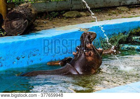 Hippopotamus (hippopotamus Amphibius). Young Female Of Hippo In Water