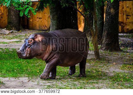 Hippopotamus (hippopotamus Amphibius). Young Female Of Hippo