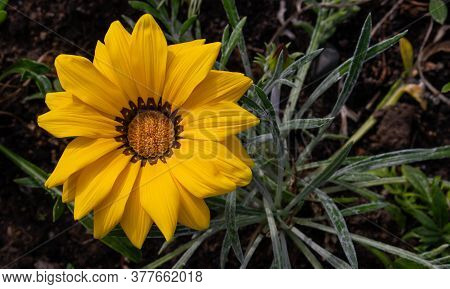 Close-up Photo Of A Beautiful Yellow Garden Flower Gazania Gazania Linearis In A Flower Bed In The P