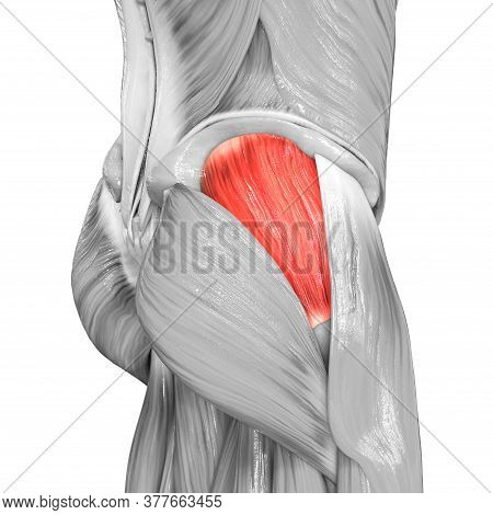 3d Illustration Concept Of Human Muscular System Leg Muscles Gluteus Medius Muscle Anatomy