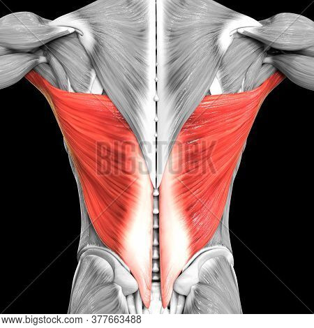 3d Illustration Concept Of Human Muscular System Torso Muscles Latissimus Dorsi Muscle Anatomy