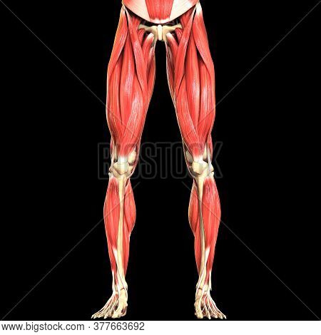3d Illustration Concept Of Muscles A Part Of Human Body Muscular System Anatomy