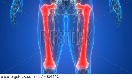 3d Illustration Concept Of Human Skeleton System Femur Bone Joints Anatomy