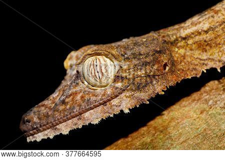 Giant Night Animal Leaf-tailed Gecko, Uroplatus Fimbriatus, Nosy Mangabe Park Reserve, Madagascar. G