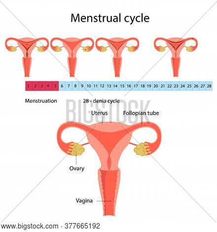 Vector Illustration Menstrual Cycle 28 - Day Cycle. Picture Of Menstruation
