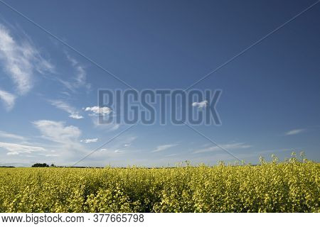 A blooming yellow Canola field at sunset with a dramatic cloudy sky in Rocky View County Alberta Can