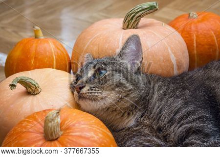 Cute Striped Cat Lies On Pumpkins. Funny Cat And Pumpkin Harvest.
