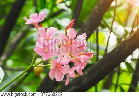 Pink Flower Oleander Inflorescence Close Up View