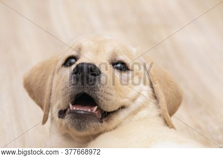 Cute Labrador Puppy Playing And Looking At Camera. Pet Love, Dog Friend