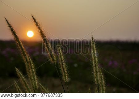 Close Up Of Backlit Native Grass With Lens Flare And Sunset Background In Dawn