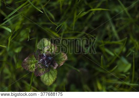 Weed With Green And Purple Leaves Sprouting On Green Lawn. Nature Background Copy Space. Weed Contro