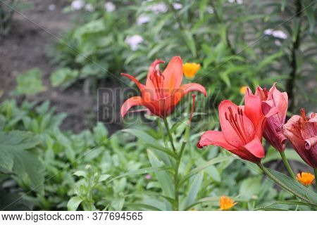 Blood Red Lilly In The Garden Among Green Grass And Other Flowers