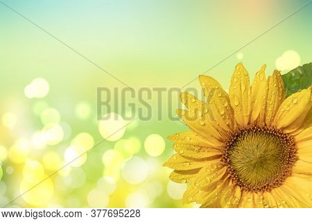Greeting Card Flower Template. Close-up Of A Beautiful Just Opened Sunflower With Water Drops After