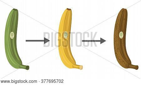 Vector Illustration Of A Green Banana, Ripe, Banana Disappears. Spoiled Banana. Stages Of Banana Rip