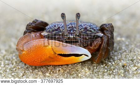 colorful violinist crab on the sand. a strong carapace and a giant orange claw as a weapon for defense, this shy crustacean is a formidable fighter. macro photo on a beach of a Thai island