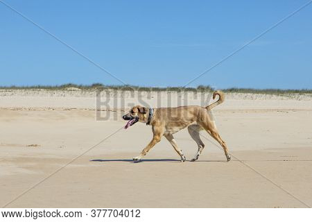 Brown Estrela Mountain Dog Walks At The Closed Beach Under Clear Sky  Due To Corona Shutdown