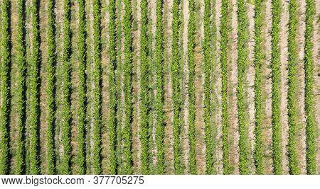 Scenic Vineyard As Structured Background At Leiwen, Trittenheim