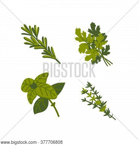 Culinary Herb. Common Aromatic Cooking Herbs On White Background. Flat Vector Hand Drawn Illustratio